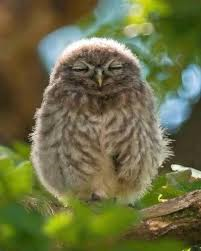 relaxed owl